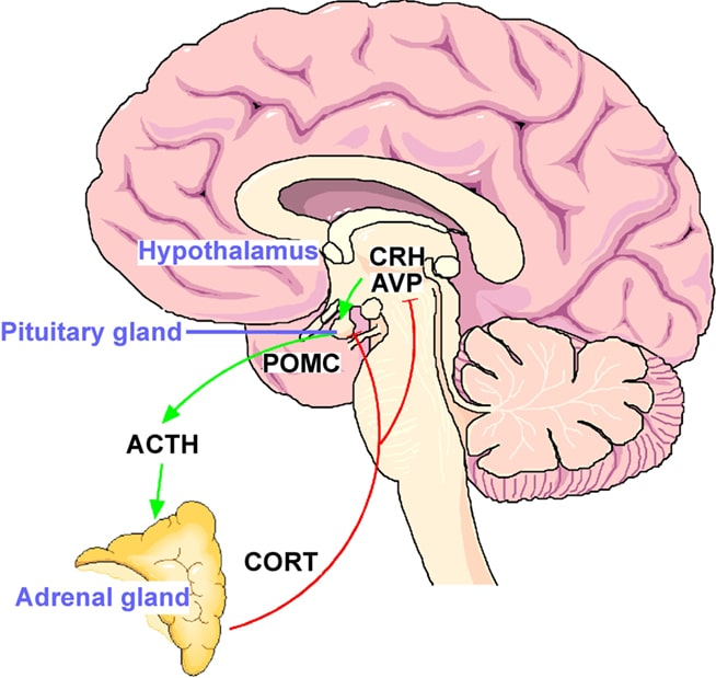 hypothalamic-pituitary-adrenal axis (HPA axis)